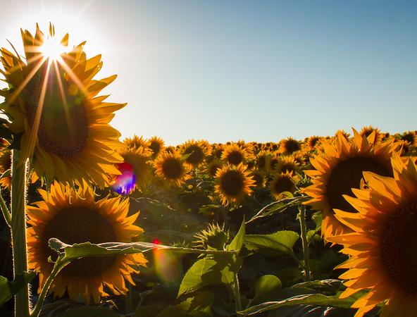 Grinter Farms Sunflower Field (2014)