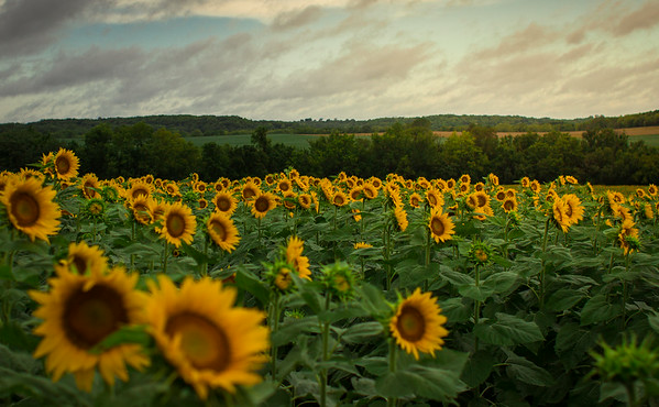 Grinter Farms Sunflower Field (2014)