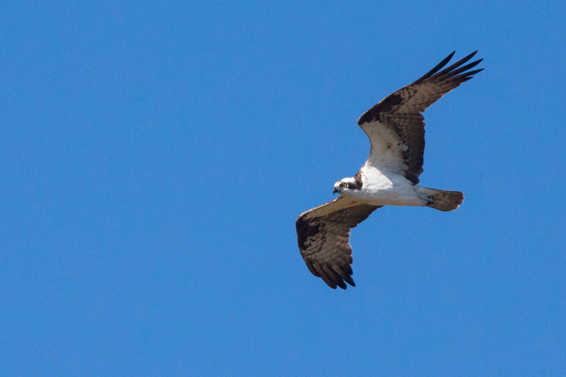 Osprey1038