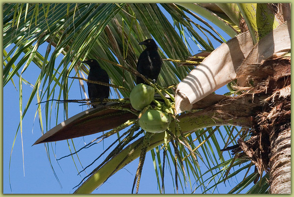 Cocos Island, Guam<br /> Two crows observing the world from their palm tree perch.