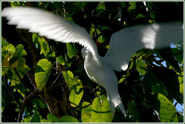 Wingspan................Cocos, Guam<br /> Pacific Fairy Tern lands gracefully.