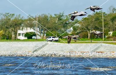 seawall pelicans 6815 crop