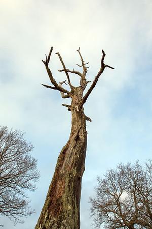 Træ på Sukkertoppen