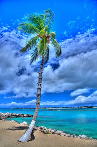 Coconut Palm Tree, Flamingo Beach Resort, Simpson Bay, St. Martin