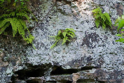 These ferns were growing out of a rock bluff on the trail to the spring.