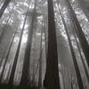 17  G Foggy Trees V