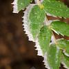51  G Rime Oregon Grape