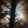 48  G Sun Rays Tree V