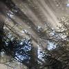 47  G Sun Rays Tree V