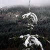 96  G Snowy Tree V
