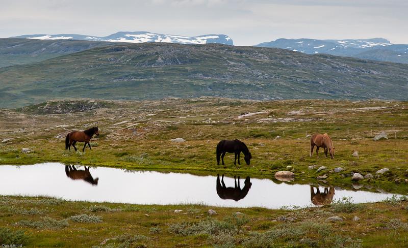 Hester ved Dyranut