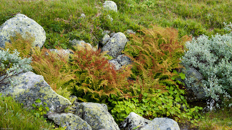 Litt nattefrost har trolig satt sitt spor på fjellburkenen her. Den er svært følsom for frost
