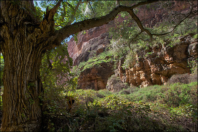 A cottonwood tree at the bottom of the canyon along the path to the Beaver Falls. Land of Supai Nation in the United States, Arizona.