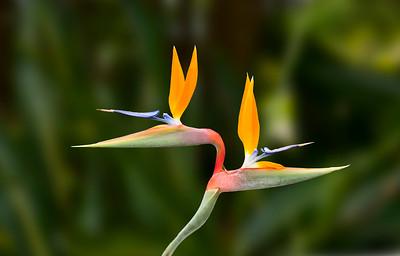 Bird of Paradise Twins