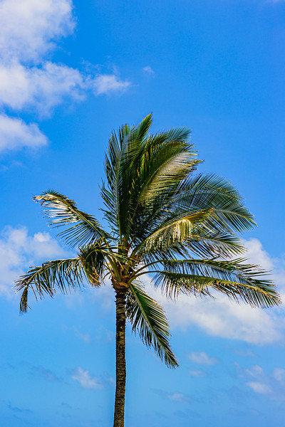 Hawaiian-Palm-tree-Big_island-Kauai-Island-coconut-tree_DSC2745 PRINT 20x30