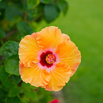 Yellow-Hibiscus-Kauai-Flower-Lei-Grand-Hyatt-Poipu_DSC2529