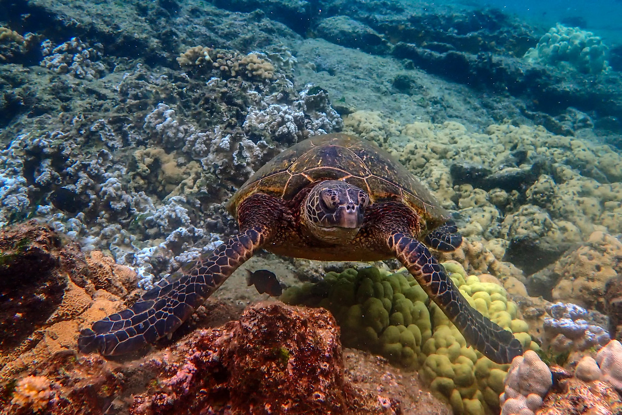 Hawaiian Green Sea Turtle and Corals