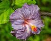 25.  Hibiscus
