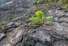 55. 'Ama 'u Tree Fern