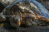 40.  Hawaiian Green Sea Turtle