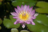Floating Flower - Water Lily