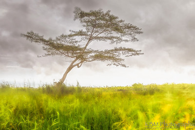 Solitaire Lone tree amonst the fog