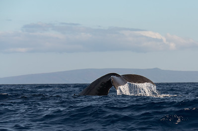 Our main interest on Maui was whale watching. Humpback whales come from colder waters to give birth in Hawaii. The babies have no blubber when born and need the warmer waters of Hawaii.
