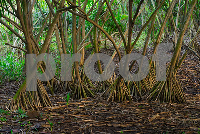 Tree Roots, Lumahai Beach, Kauai, HI