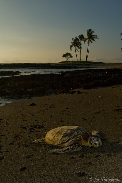 Sea Turtle Sunset