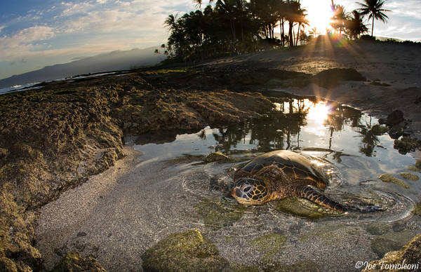 Sea Turtle Sunrise