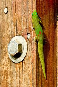 _DSC8996   Gecko