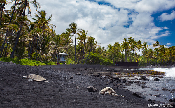 Green Turtles - Black Sand