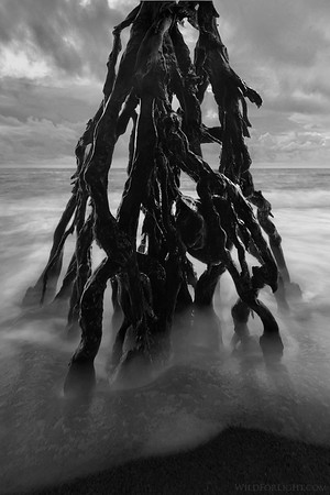 """Malevolent Tree at Black Sand Beach"" - Hawaii"