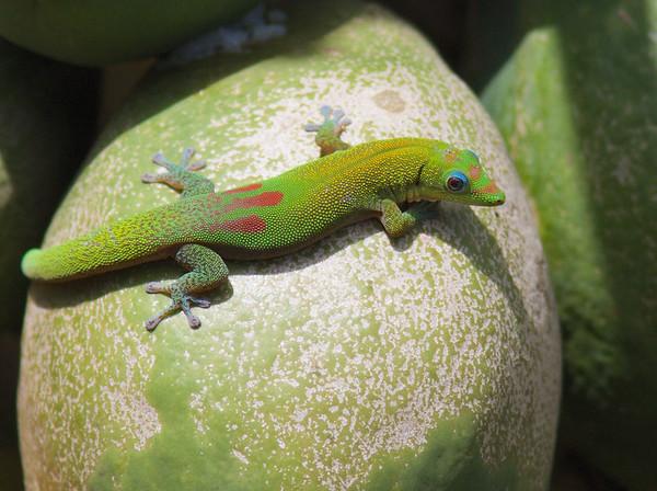 Randee's  Gecko