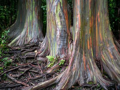 Painted bark Eucalyptus trees at mile marker six on the Hana Highway, Maui, HI.