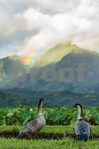 NeNe and Rainbow at Taro Fields, Kauai, HI