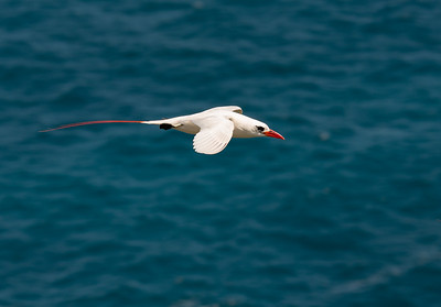 A Red-tailed Tropicbird, at Kilauea Wildlife Refuge.