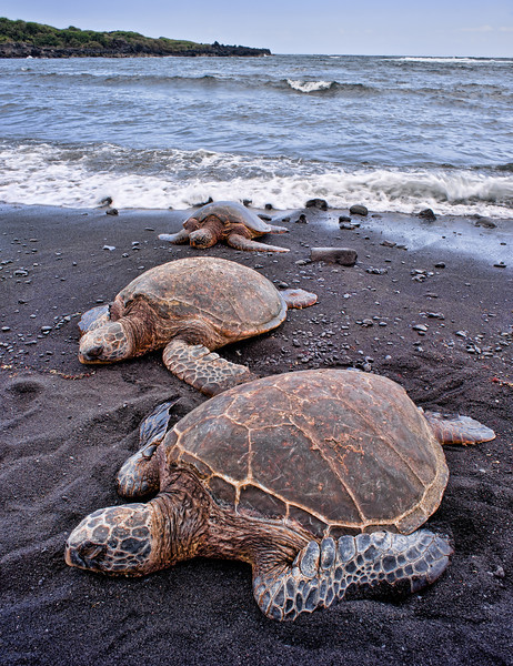 Punalu'u Turtles 3<br /> <br /> Three Hawaiian Green Sea Turtles on Punalu'u Black Sand Beach<br /> Big Island, Hawai'i, USA