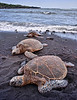 Punalu'u Turtles 3<br /> <br /> Three Hawaiian Green Sea Turtles on Punalu'u Black Sand Beach<br /> Big Island, Hawai'i, USA