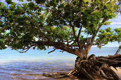 A tree growing on the ocean's edge at Anini Beach on the North Shore of Kauai.