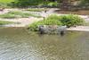 Bullfrog trap at De Vries wetland, O`ahu, Hawai`i