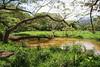 Wetland in Kailua, O`ahu, Hawai`i