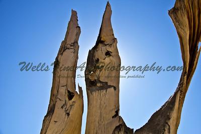 Backlit bristlecone pines