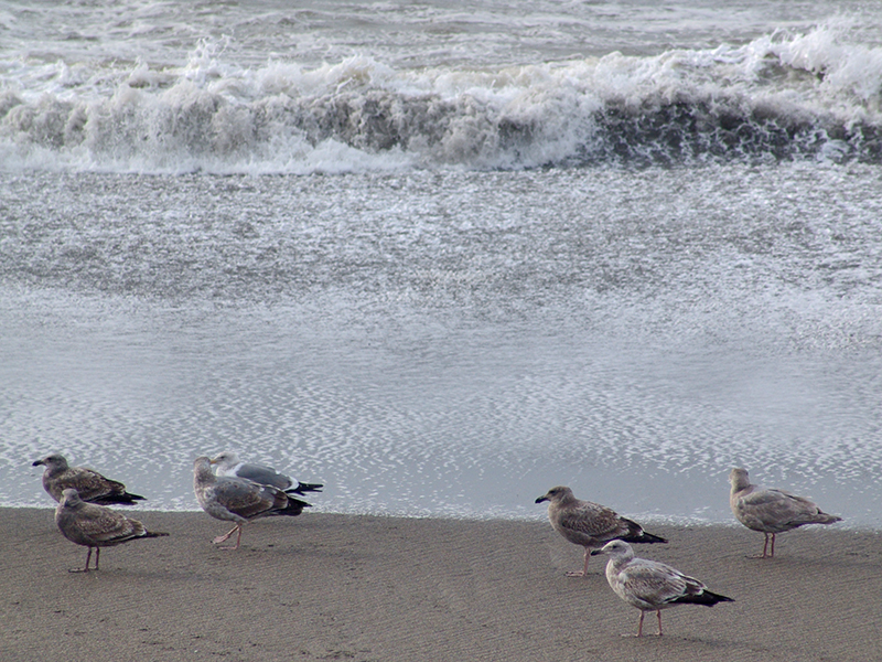 The gulls gathered at the ocean's edge. The brownish ones are juveniles.