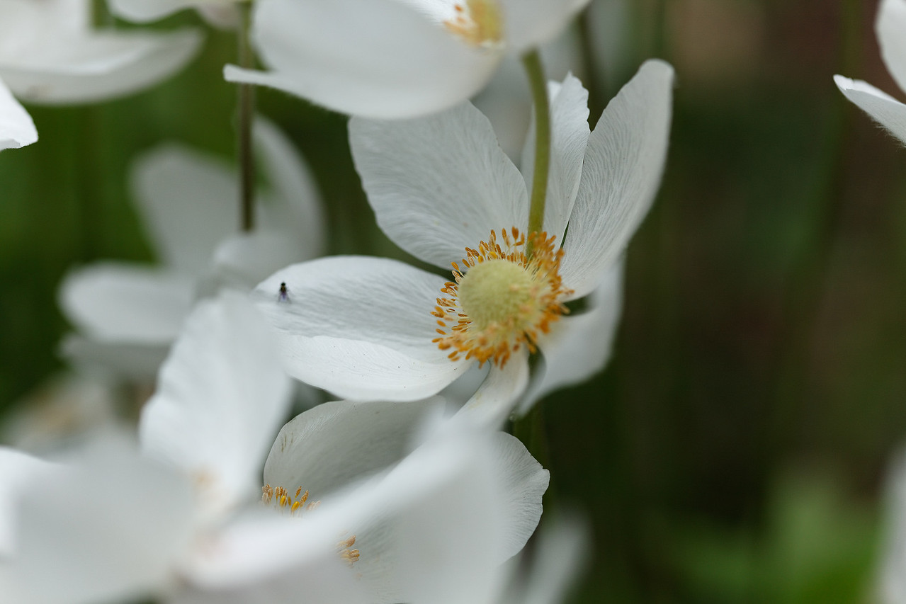 White poppies, and a very small fly