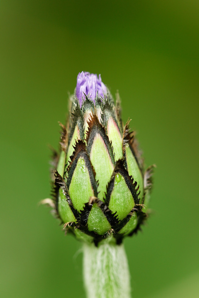 Lupine, before blooming