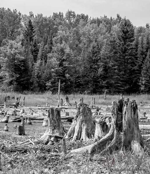 Dead forest in B&W 2.