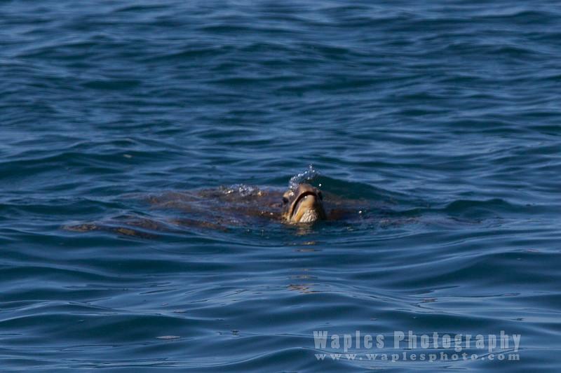 """""""Honu"""" Green Sea Turtle"""