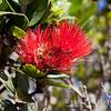 Flowering 'ōhi`a tree