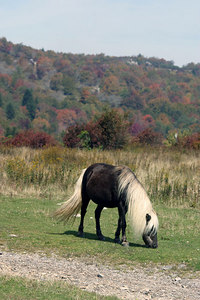 Wild Pony grazing along the Appalachian Trail.